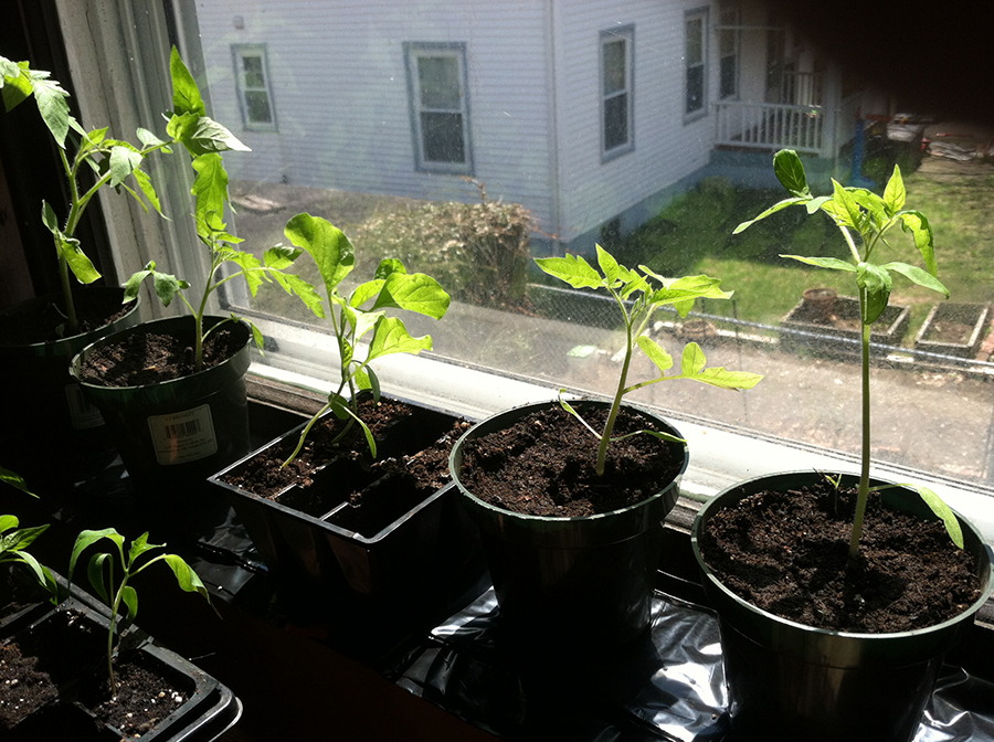 These are  tomato plants and one egg plant in the middle growing on a sunny windowsill.